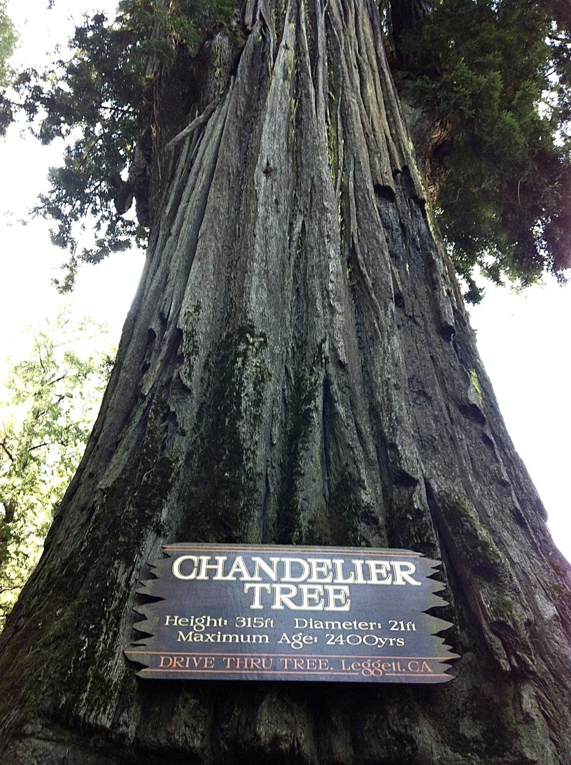 Mammut Tree