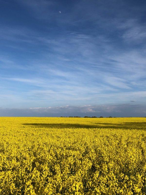 Rapsblüte Schleswig-Holstein